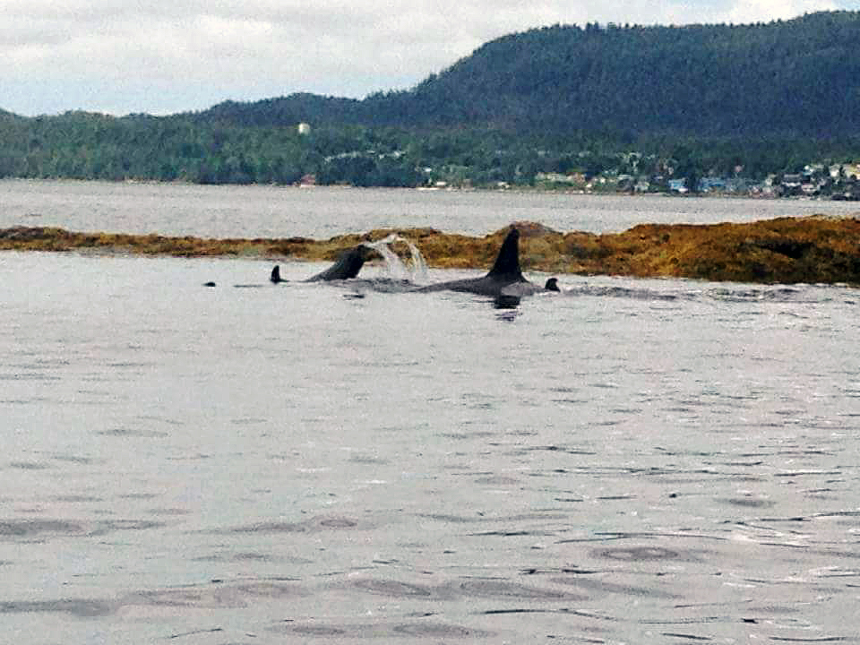 Whales in the bay